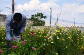 Ağrı'da yetişen rengarenk çiçekler şehirleri süslüyor