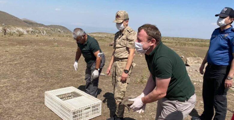 Ağrı Dağı eteğinde doğaya kınalı keklik bırakıldı