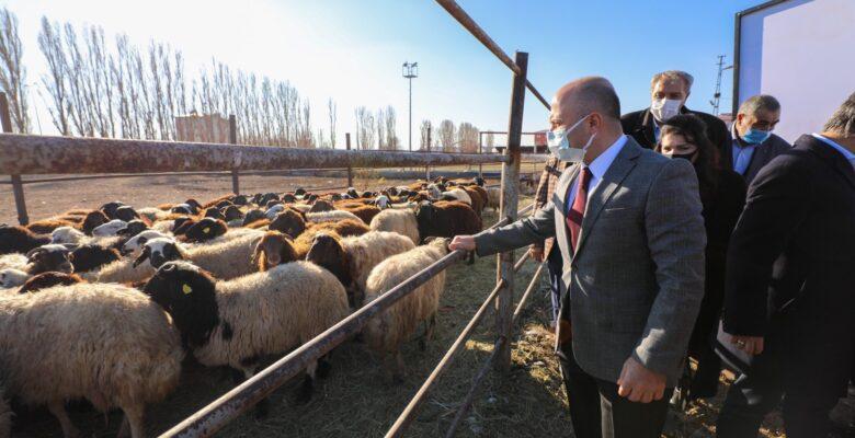 Ağrı'da '5 Yılda 750 bin Koyun Projesi' kapsamında çiftçiler koyunlarını teslim almaya başladı