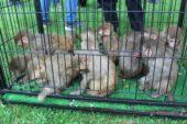 Ağrı'da yakalanan 12 maymun Gaziantep'te koruma altına alındı