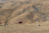 Ağrı'da 4 kurt doğaya bırakıldı